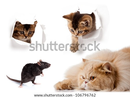 Rat and cat isolated on white background. cat looking up in paper - stock photo