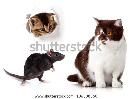Rat and cat isolated on white background. cat looking up in paper side torn hole.