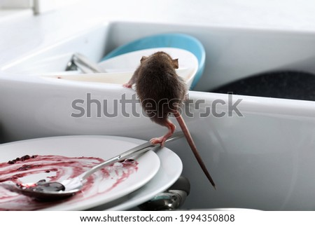 Rat and dirty dishes in kitchen sink. Pest control Foto stock ©