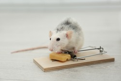 Rat and mousetrap with cheese indoors. Pest control