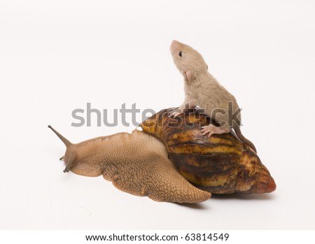 Rat baby on a snail
