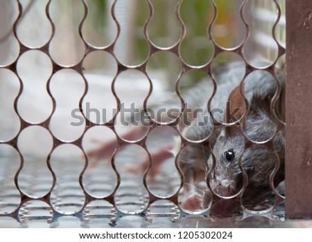 Rat caught in a rat trap.