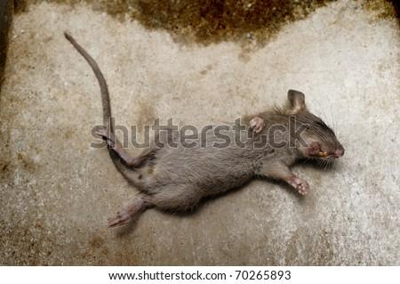 rat die on ground