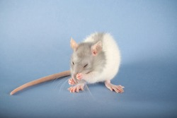 rat grey beautiful on the blue background