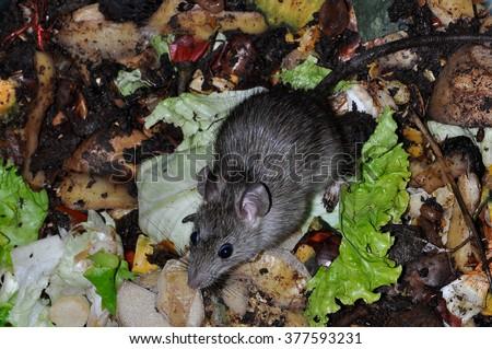 rat in a vegetable garbage bin