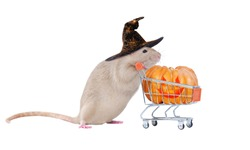 Rat in a Witch hat buying the Halloween pumpkin