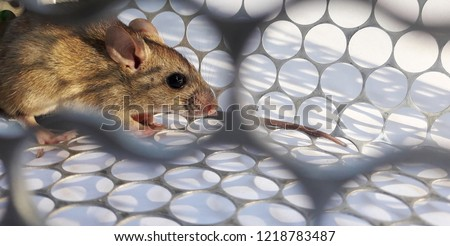 Rat in cage mousetrap on white background, Mouse finding a way out of being confined, Trapping and removal of rodents that cause dirt and may be carriers of disease, Mice try to find freedom #1218783487