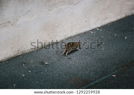 Rat is Running Away on Street Alley