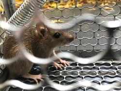 Rat is trapped in steel trap cage.