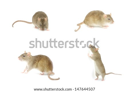 Photo of rat isolated on a white