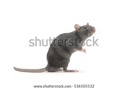 rat isolated on white background Foto d'archivio ©