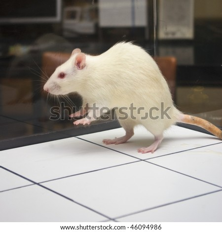 rat jumping on board during experiment