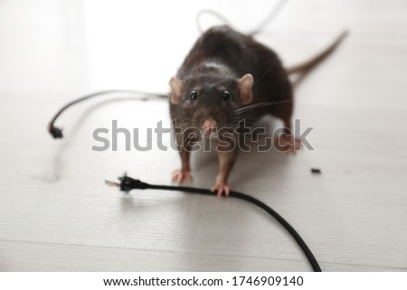 Photo of  Rat near gnawed cable indoors. Pest control