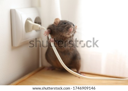 Rat near power socket indoors. Pest control Foto stock ©