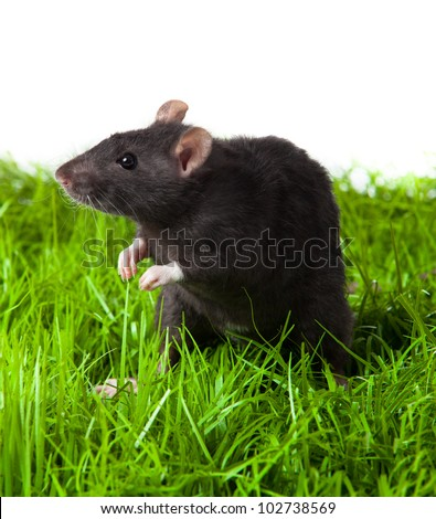 rat on the grass isolated in white. rat in green grass close up.