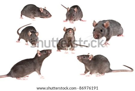 rat on white background - collection