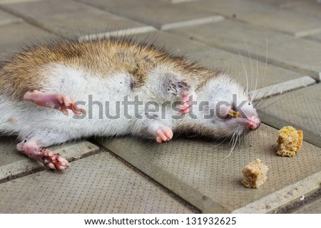 Rat poisoned by toxic bait lying on the floor