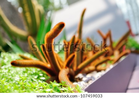 Rat tail cactus in the Flower Dome at Gardens by the Bay Singapore - stock photo
