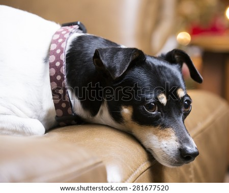Rat Terrier dog resting on couch with his head hanging over the cushion