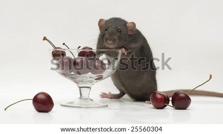 rat with berries - stock photo