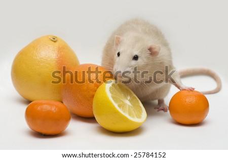 rat with citrus fruit