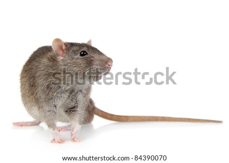 Rat with long tail on white background
