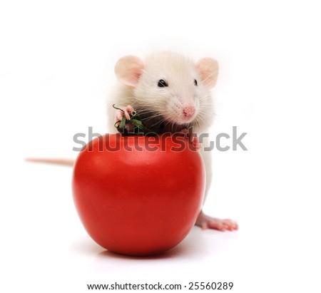 Rat with tomato