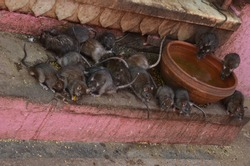 Rats are gathering near a water bowl at Karni Mata, the temple of rats at Deshnoke, Rajasthan