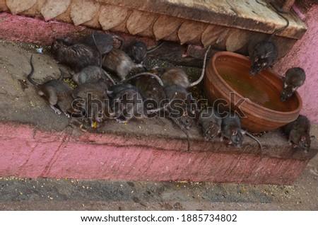 Rats are gathering near a water bowl at Karni Mata, the temple of rats at Deshnoke, Rajasthan Zdjęcia stock ©