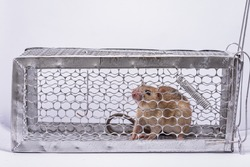 Rats in a cage, trap the mouse on a white background How to get rid of rats from the house and get rid of dirt-causing rats and possibly carriers of rats Try to find freedom