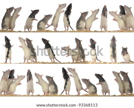 rats on white background - collection