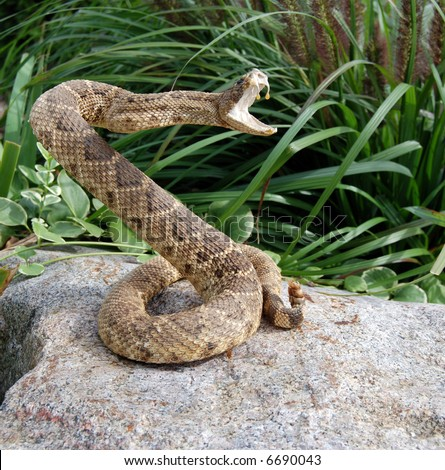 stock photo : rattle snake coiled for attack