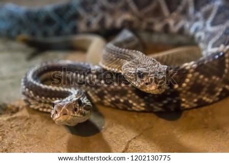 Rattlesnake, Crotalus atrox. Western Diamondback. Dangerous snake.