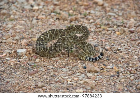 Rattlesnake on a Gravel road ready to strike