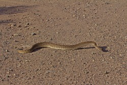 Rattlesnake slithering on dirt road
