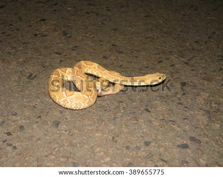 Stock Photo Rattlesnake with albinism
