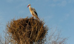 Rattling stork is resting in its nest