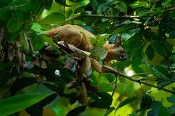 Ratufa affinis - Cream-coloured Giant Squirrel or pale giant squirrel, large tree squirrel in genus Ratufa found in forests in the Thai-Malay Peninsula, Sumatra (Indonesia), Borneo