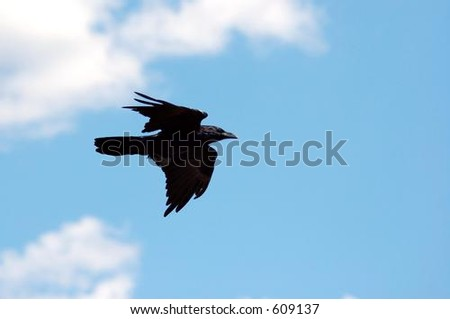 Raven Against Sky & Clouds