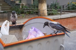 Raven and City. Bird on Garbage. Waste is Food for Animals. Crows on Waste. Animals in the Rubbish. Birdlife City. City Birds Looking for Food. Crow on Garbage.Problem of Trash Bird. Sitting on Trash.