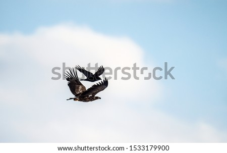 Raven and White tailed eagle in flight. Scientific name: Haliaeetus albicilla, also known as the ern, erne, gray eagle, Eurasian sea eagle and white-tailed sea-eagle. Eagle having an issue with raven