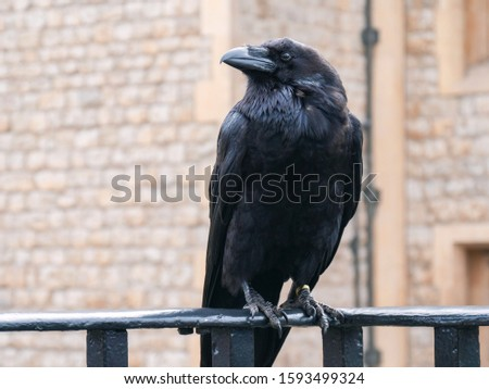 Raven at the Tower of London. Closeup portrait of sitting black raven in Tower of London, UK. Raven at the Tower of London perched on black iron railings with stone wall background. Crow in London.