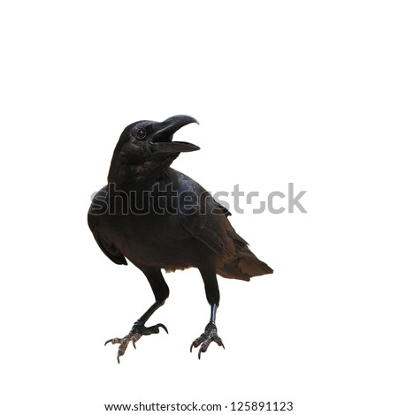 raven bird isolate on white background