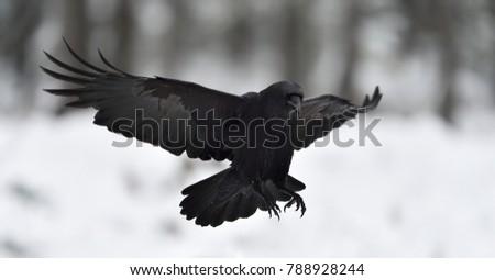 Raven (Corvus corax) in flight. Landing.