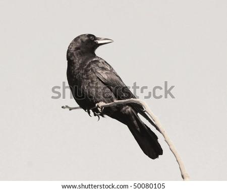raven crow isolation