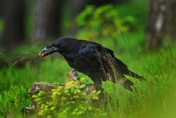 Raven in dark green forest. Young common raven, Corvus corax, also known as northern raven. Black bird looking for food in rotten stump. Feeding behaviour scene from nature. Bird wildlife in Europe