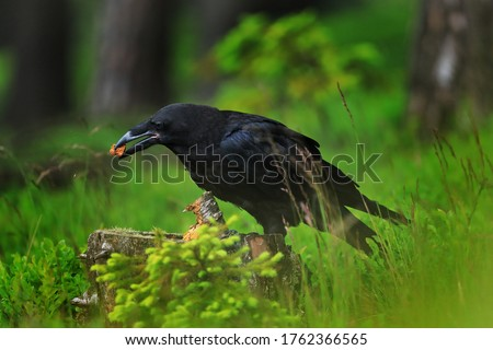 Raven in dark green forest. Young common raven, Corvus corax, also known as northern raven. Black bird looking for food in rotten stump. Feeding behaviour scene from nature. Bird wildlife in Europe Сток-фото ©