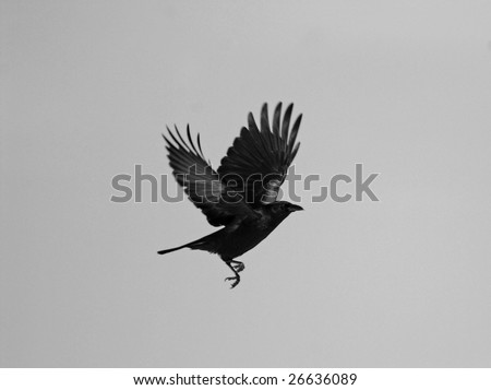 Raven in motion, desaturated.