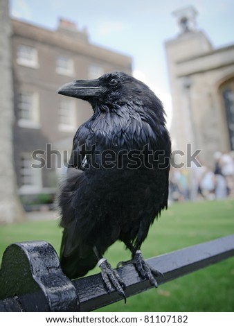 Raven in the Tower of London, UK