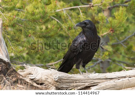 Raven on bleached out wood in Yellowstone National Park